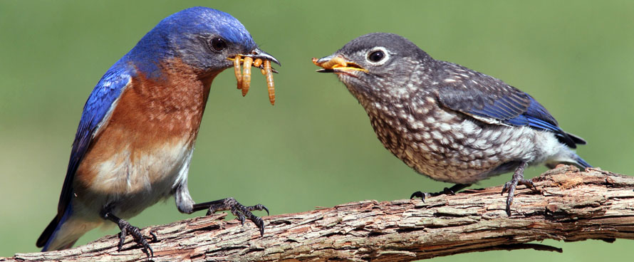 Adult Bluebird Feeding Live Meal Worms to Baby