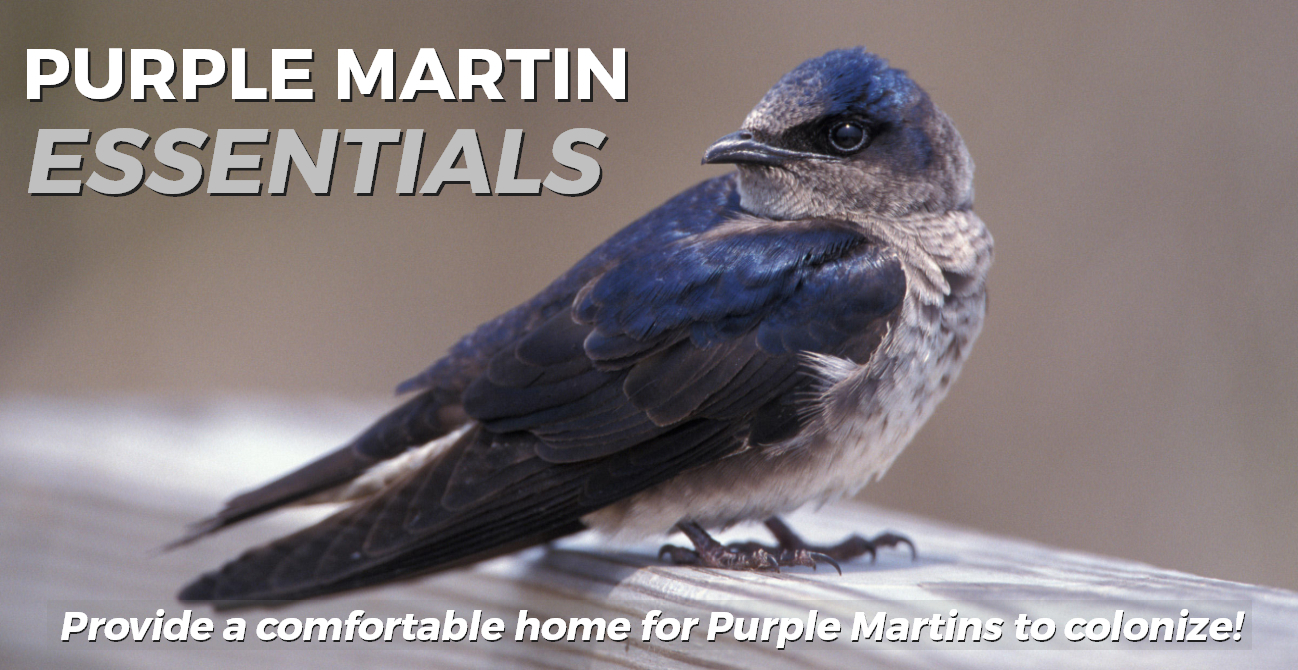 Martins púrpura - las acres salvajes de Maryland