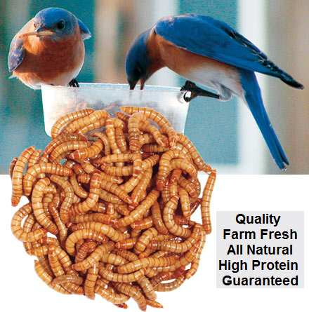 Bulk Live Mealworms 1000 Count