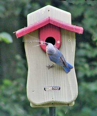 Bluebird House Cialis