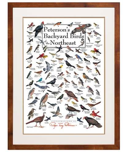 Peterson's Birds of the Northeast Poster