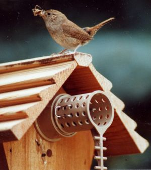 wren returning to his birdhouse with a juicy spider for the baby chicks