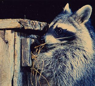 raccoon pulling out nest from birdhouse while looking for eggs