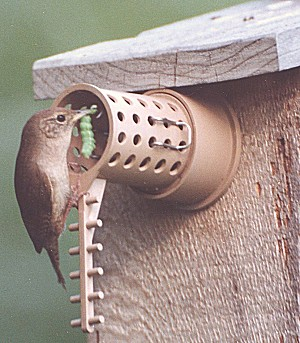 wren with grub for it's young entering predator protected birdhouse