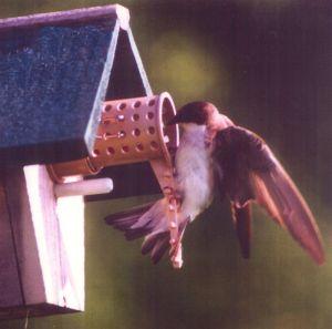 tree swallow entering bird guardian protected birdhouse