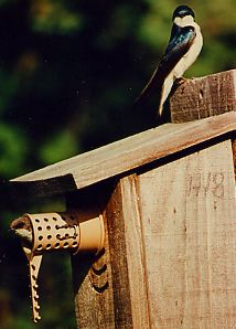 pair of tree swallows on the bird guardian protected birdhouse