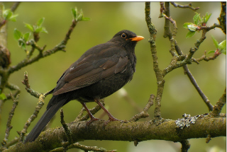 Blackbird perching on branch