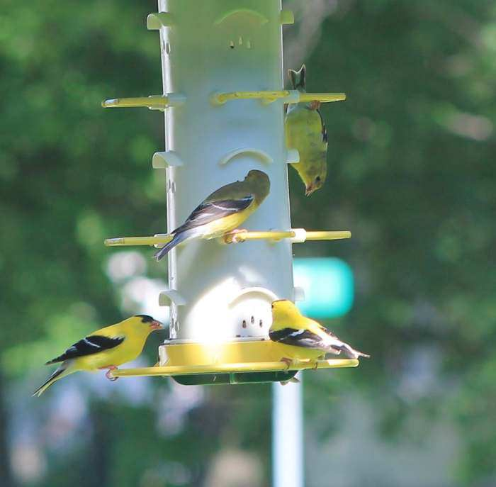 birds droll bird yankees product feeder center finch shelmerdine yankee feeders flipper garden