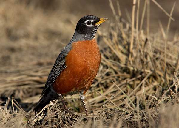 black singles in robins The recovery of the chatham islands black robin from the brink of extinction is an internationally renowned conservation  with just a single breeding pair left.