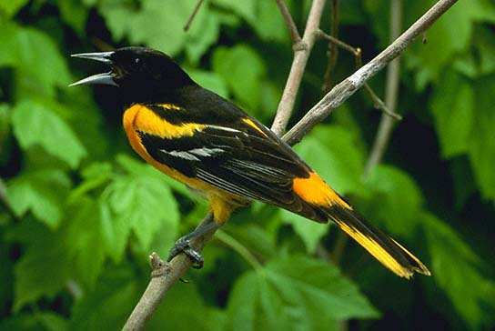 orioles video tips on how to attract orioles to your backyard oriole