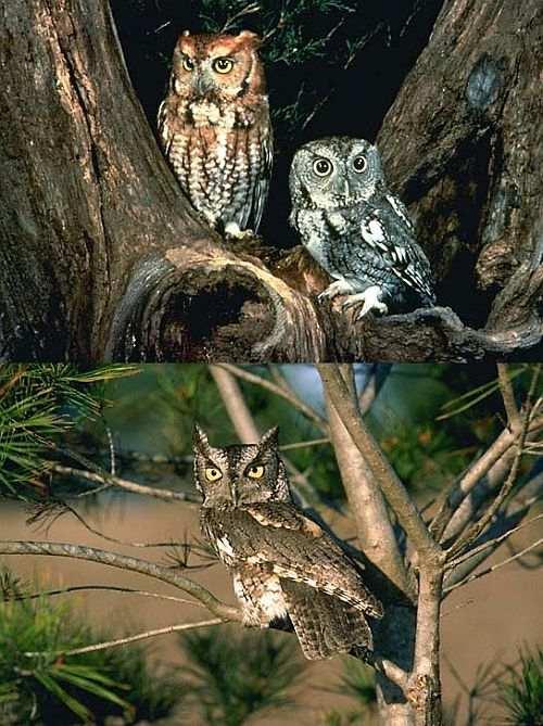 Eastern and Western Screech Owls