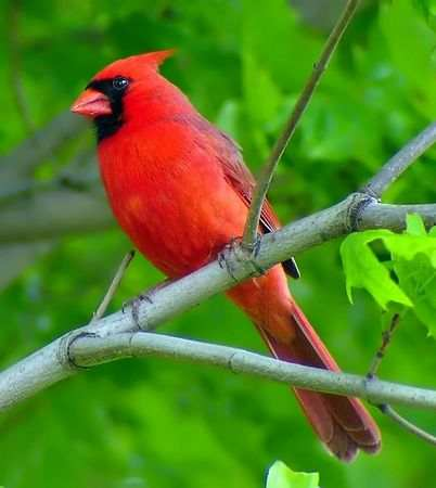 what is the new york state bird. This common ird is a winter
