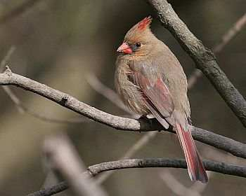 Northern Cardinal Female
