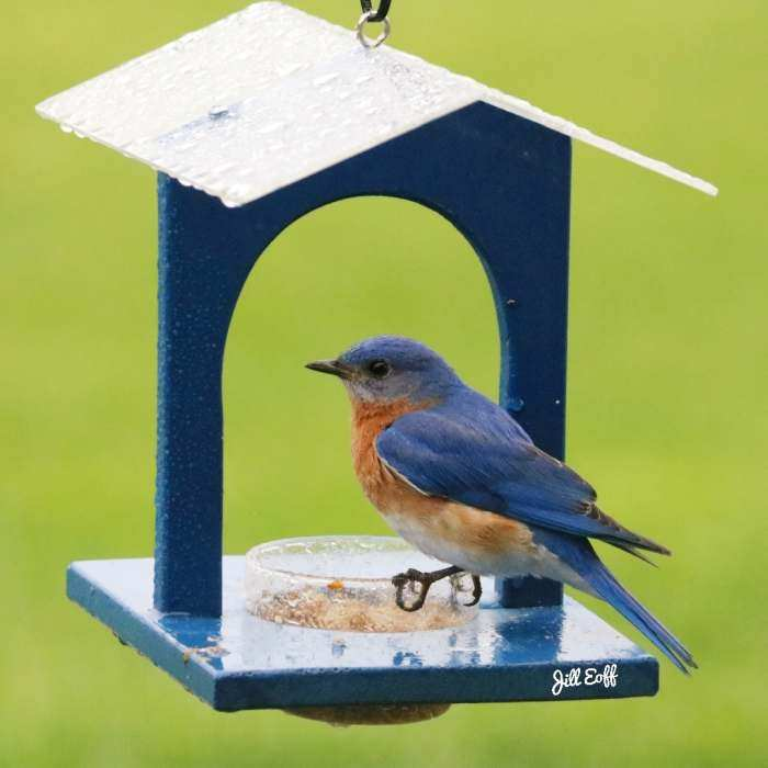 Bluebird Joint Mealworm Feeder