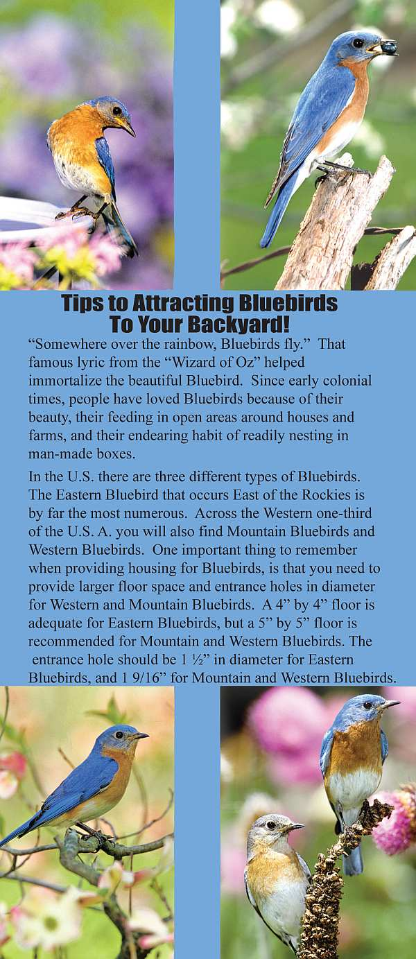 Tips To Attracting Bluebirds To Your Backyard, Helpful Tips For Backyard  Bird Lovers And Nature Enthusiasts At Songbird Garden